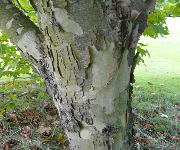 Platanus orientalis L. 'Liquidambarifolia'