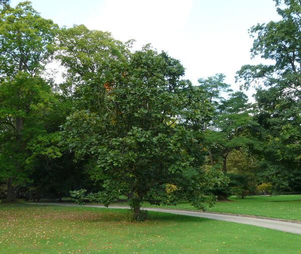 Quercus 'Pondaim'