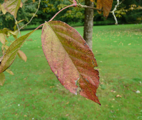 Acer henryi Pax