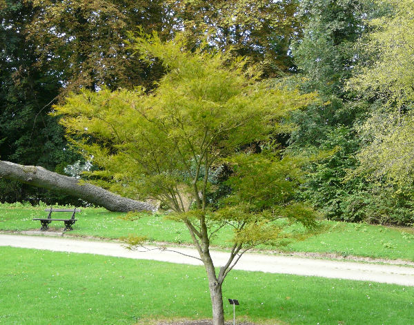 Acer palmatum Thunb. ex Murray 'Villa Taranto'
