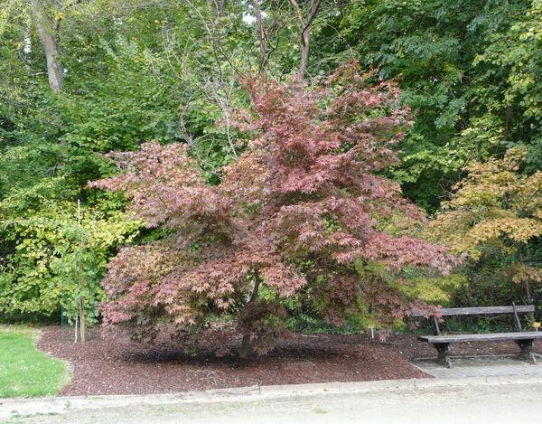 Acer palmatum Thunb. ex Murray 'Amoenum Hessei'