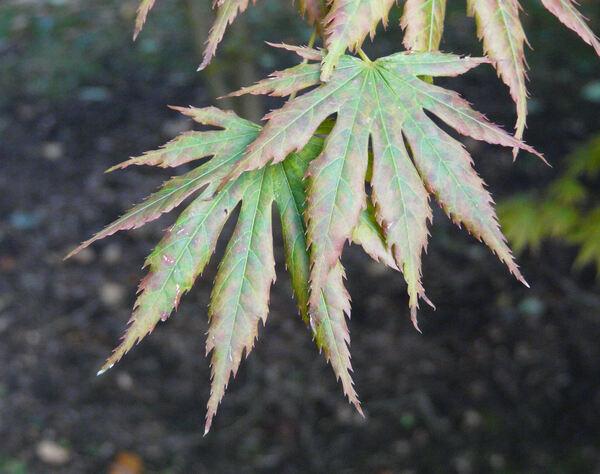 Acer shirasawanum Koidzumi 'Palmatifolium'