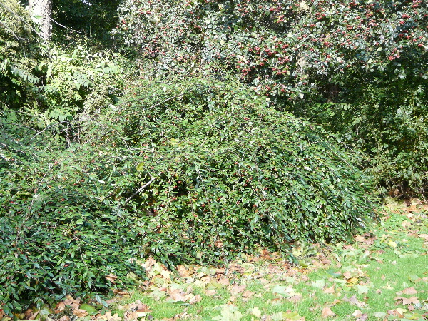 Cotoneaster salicifolius Franch. 'Herbstfeuer'