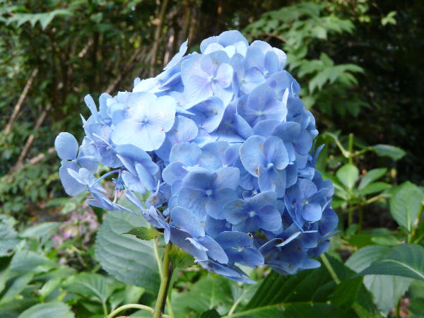 Hydrangea macrophylla (Thunb.) Ser. 'Joseph Banks'