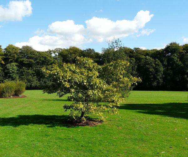 Quercus arkansana Sarg.