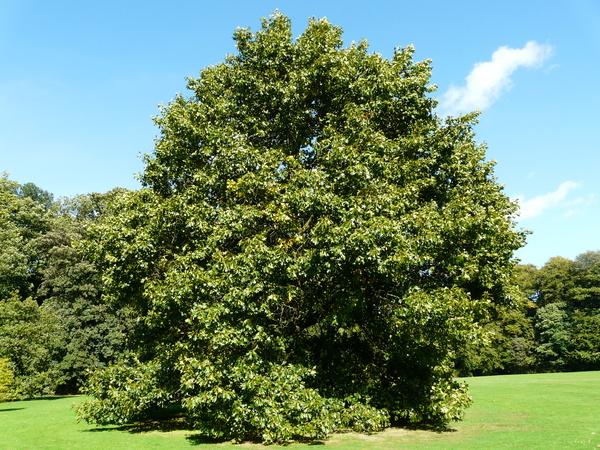 Quercus x bushii Sarg.