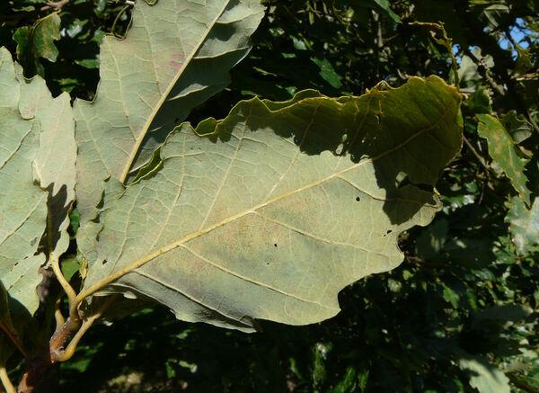 Quercus aliena Blume var. acutiserrata Maxim.