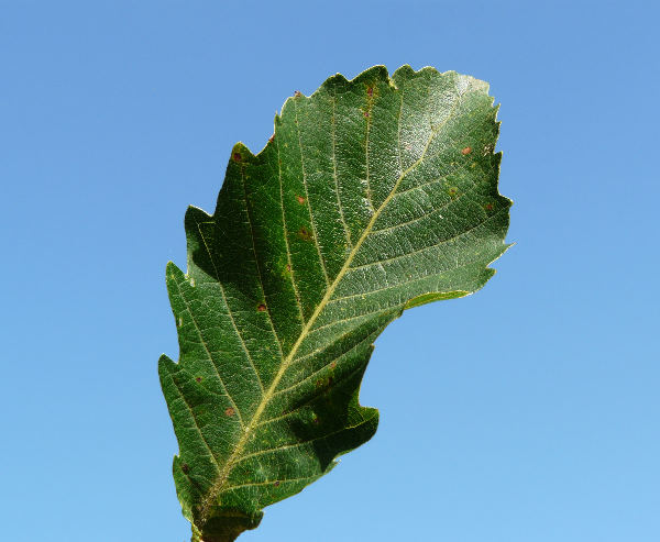 Quercus mongolica Fisch. ex Ledeb.