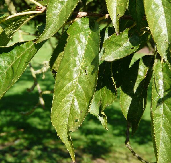 Prunus speciosa (Koidz.) Ingram