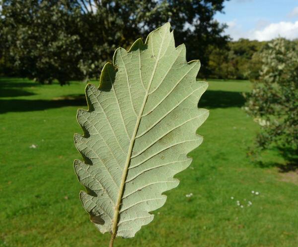 Quercus faginea Lam.