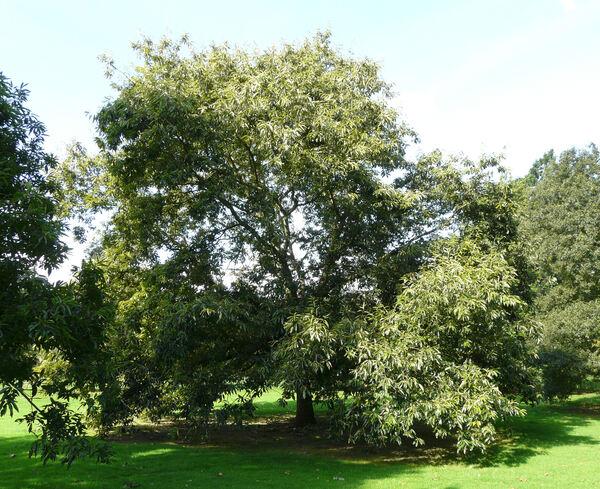 Quercus variabilis Blume