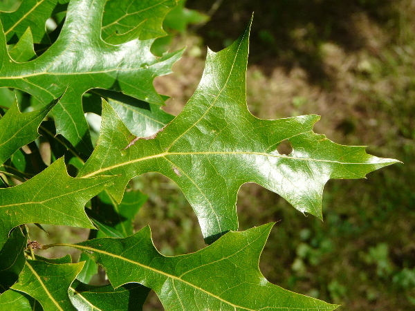 Quercus texana Buckley