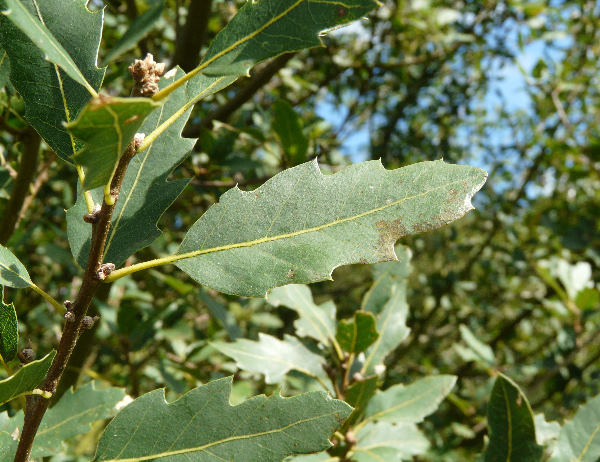 Quercus x kewensis Osborn