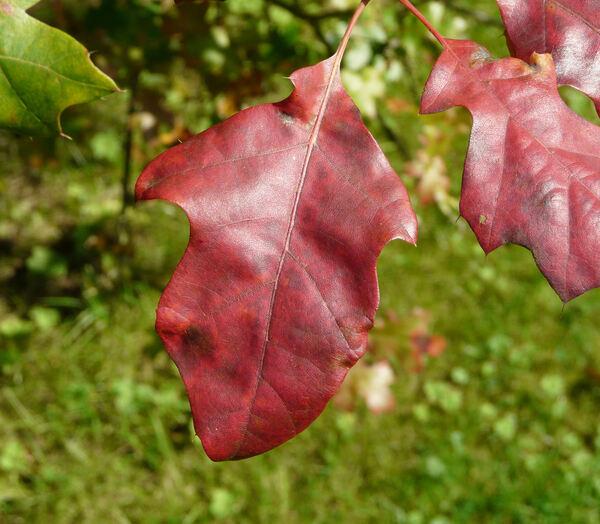 Quercus acerifolia (Palmer) Stoynoff & Hess