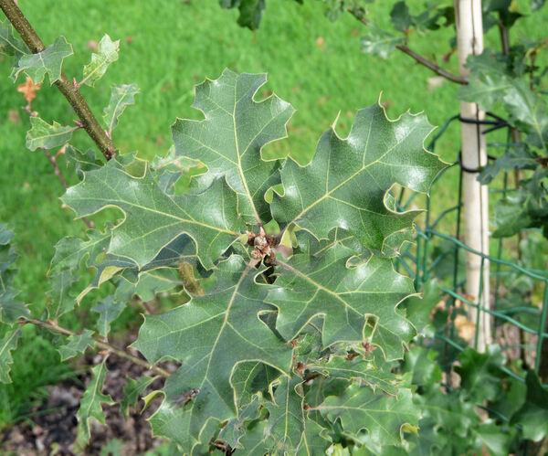 Quercus x moreha Kellogg