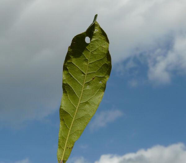 Quercus gravesii Sudworth