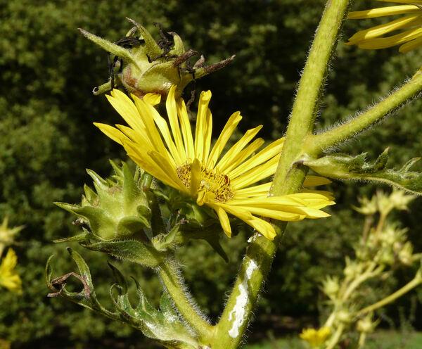 Silphium laciniatum L.