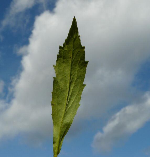 Helenium californicum Link