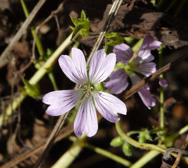 Geranium gracile Ledeb. ex Nordm.