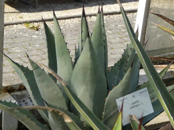 Agave cantala (Haw.) Roxb. ex Salm-Dyck var. cantala
