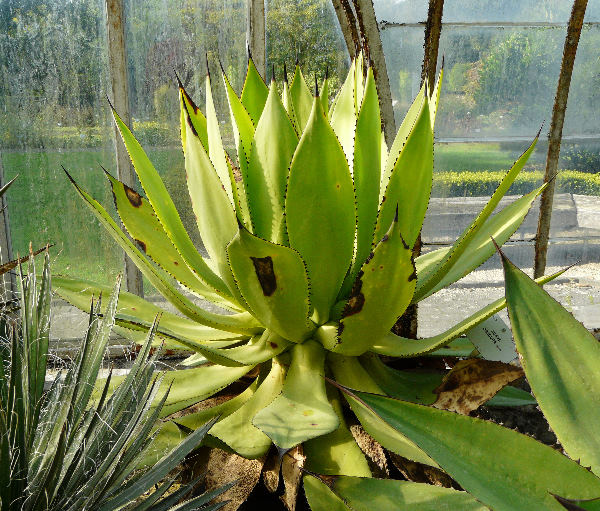 Agave obscura Schiede