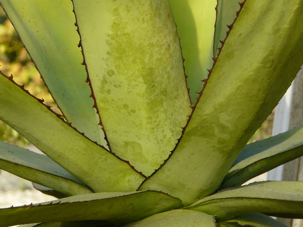 Agave triangularis Jacobi