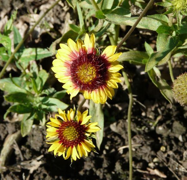 Gaillardia pulchella Foug.