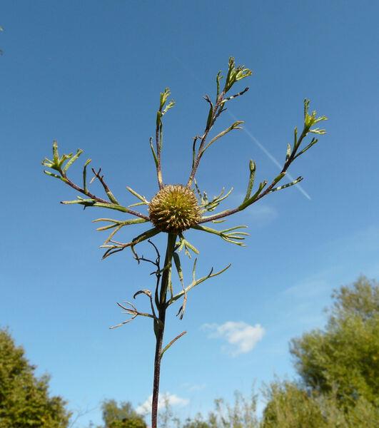 Cladanthus arabicus (L.) Cass.