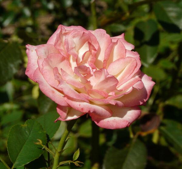 Rosa 'Nina Nadine'