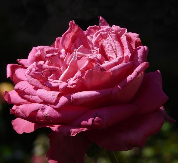 Rosa 'A Caen la Paix ®'