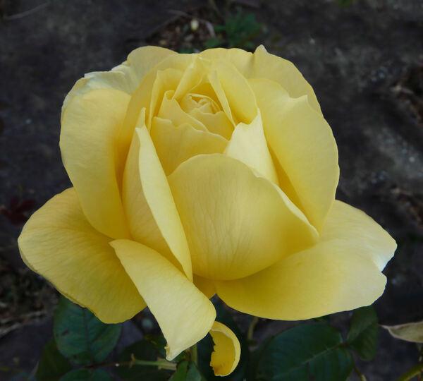 Rosa 'Souvenir de Marcel Proust ®'