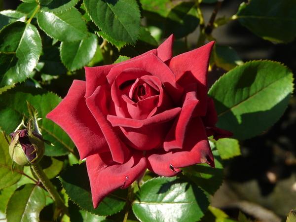 Rosa 'Velvet Alibi'