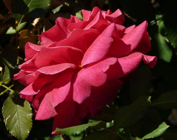 Rosa 'Paris-Match ®'