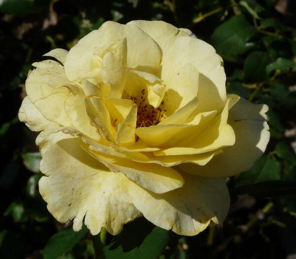 Rosa 'Amber Flush ®'