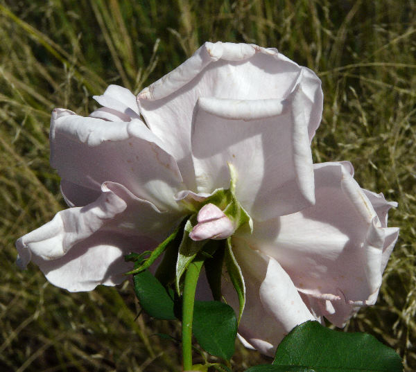 Rosa 'Westminster Pink ®'