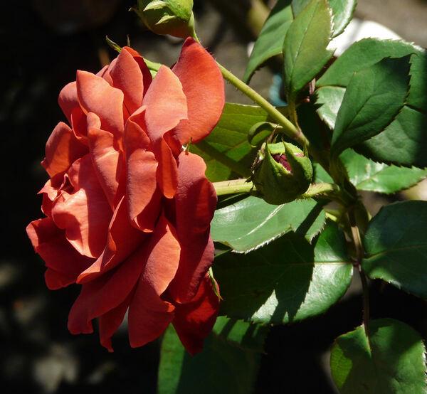 Rosa 'Terracotta ®'