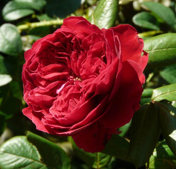Rosa 'Alain Souchon ®'