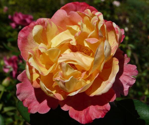 Rosa 'Variegata di Barni'