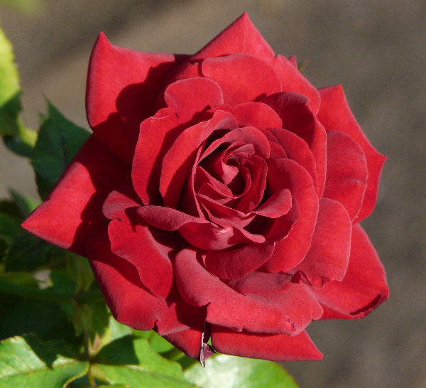 Rosa 'Thinking Of You'