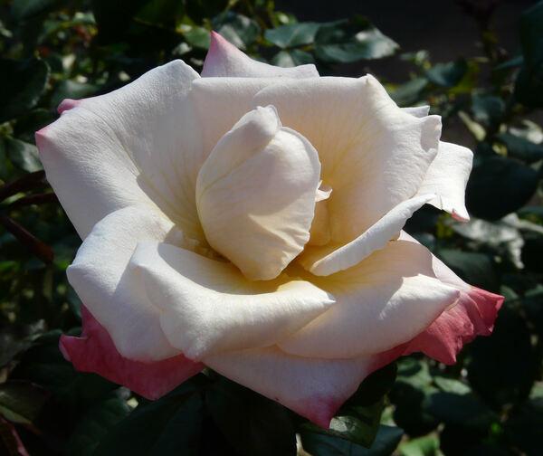 Rosa 'Laetitia Casta ®'