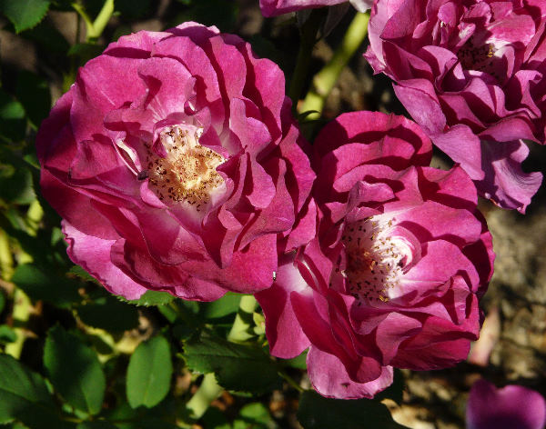 Rosa 'Blue Eden'