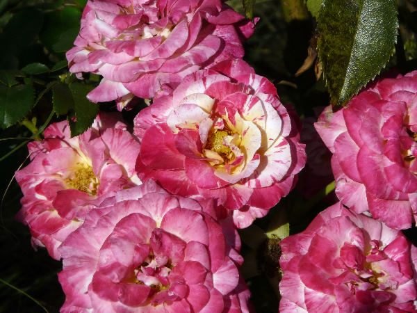 Rosa 'Camille Pissarro ®'