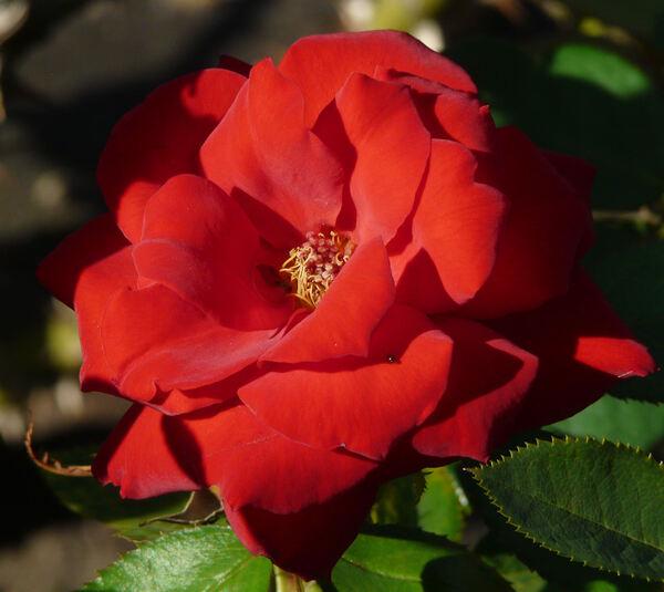 Rosa 'Rebell'