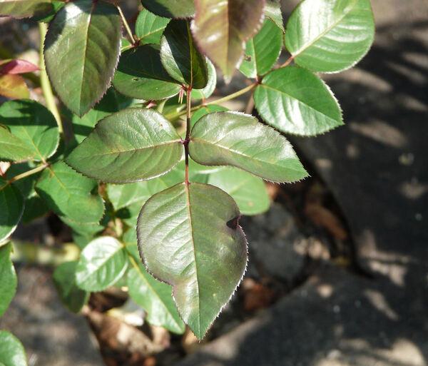 Rosa 'Tassili ®'