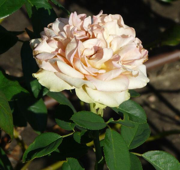 Rosa 'Fantasia Mondiale ®'