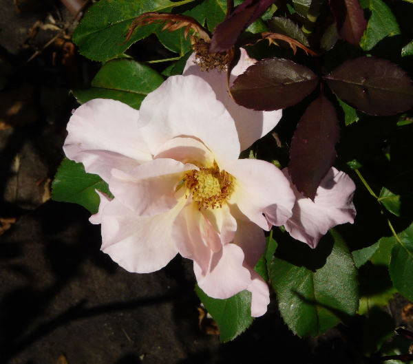 Rosa 'Pure Bliss ™'