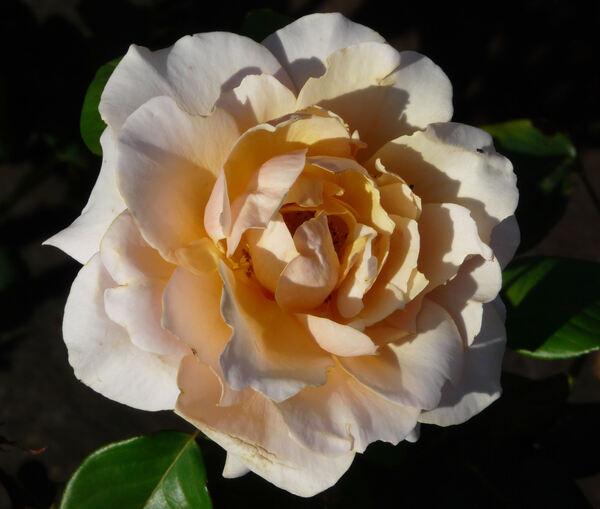 Rosa 'Sue Hipkin'