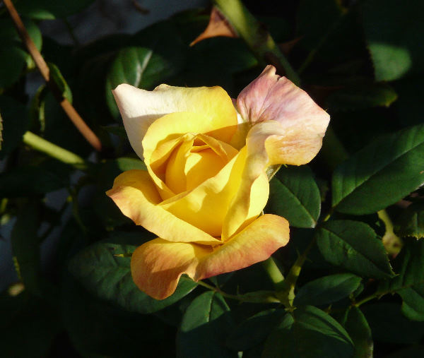 Rosa 'Benson & Hedges Gold ®'