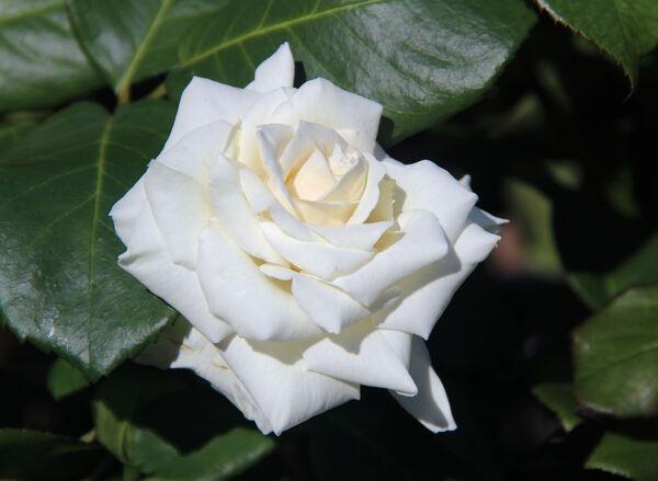 Rosa 'Letizia ®'