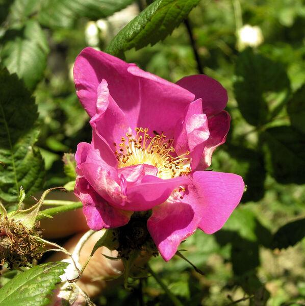 Rosa x dupontii Déségl.